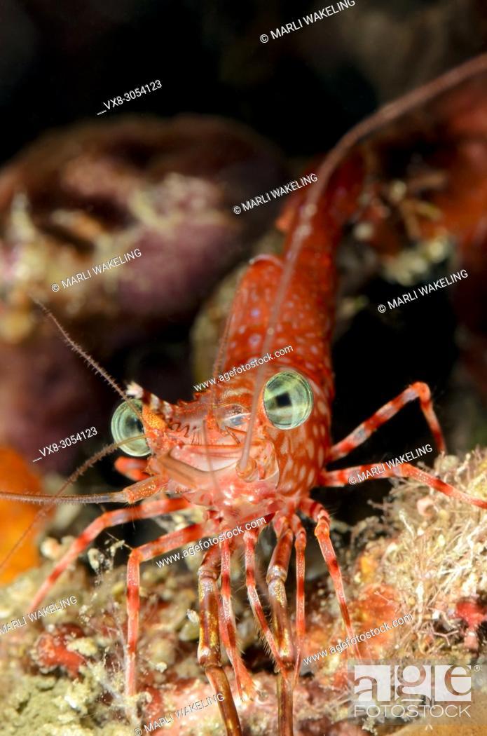 Stock Photo: Henderson's hinge-beak shrimp, Rhychocinetes hendersoni, Lembeh Strait, North Sulawesi, Indonesia, Pacific.