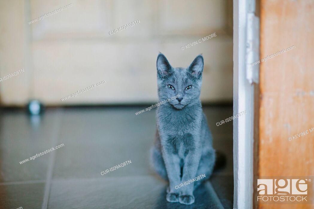 Imagen: Russian blue cat looking at camera.