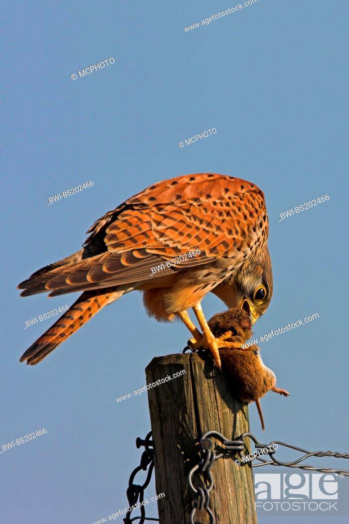 Stock Photo: common kestrel (Falco tinnunculus), feeding a mouse on a pile, Germany, Rhineland-Palatinate.