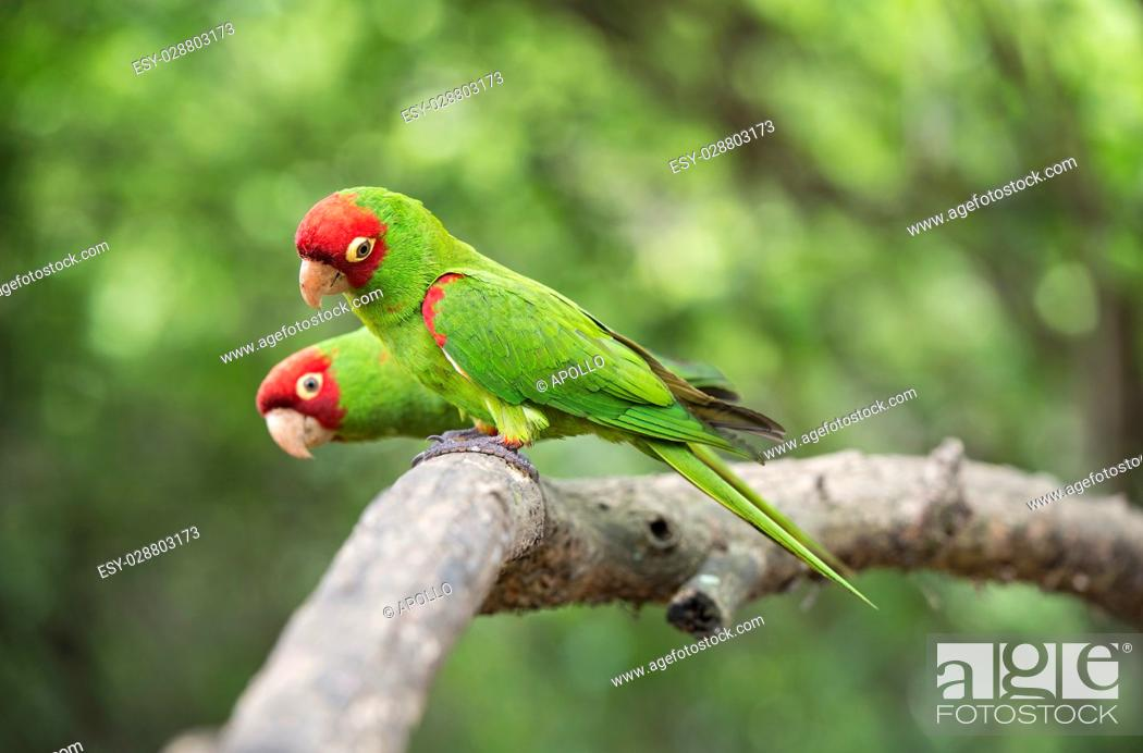 Imagen: Red-masked parakeets (Psittacara erythrogenys), True parrots family (Psittacidae), Jorupe Biological Reserve, tropical dry forest, Western Andean foothills.