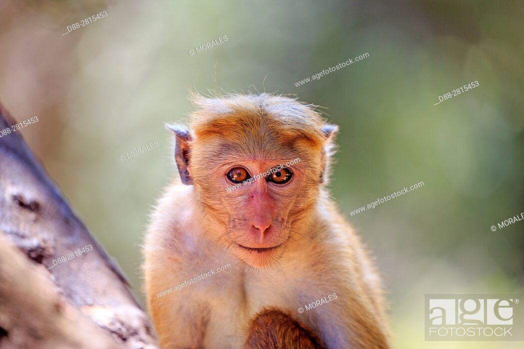 Stock Photo: Sri Lanka, Yala national park, Toque macaque (Macaca sinica).