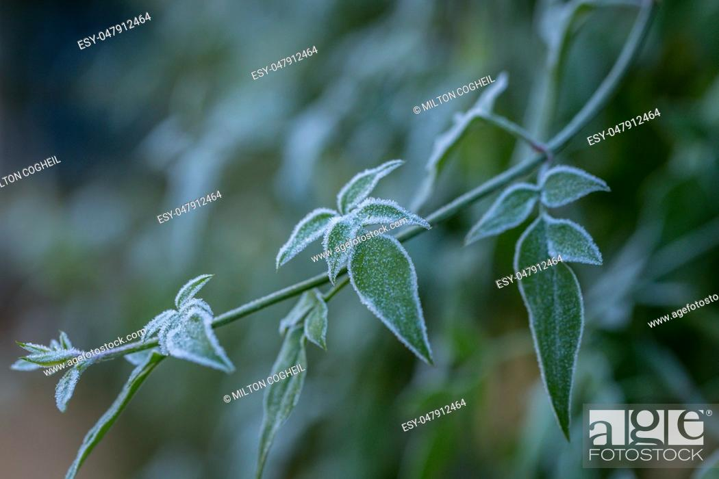 Stock Photo: Ice crystals (hoar frost) on green plant leaves.