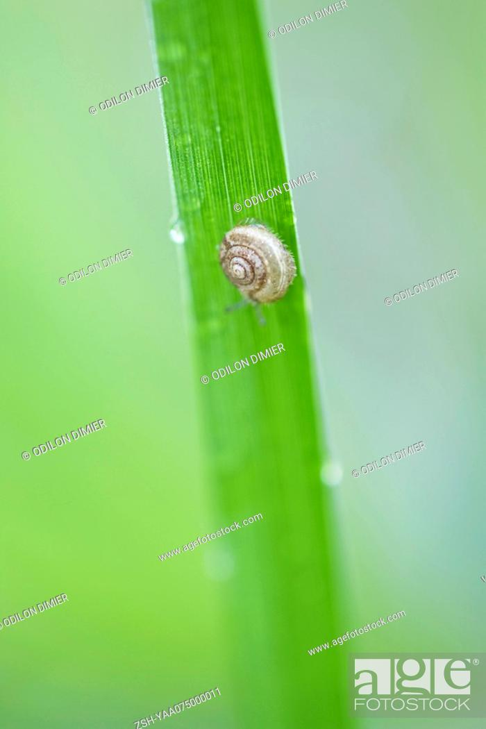 Stock Photo: Young hairy snail trichia hispida travelling down blade of grass.