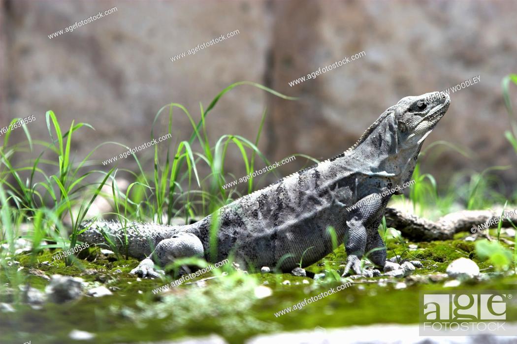 Stock Photo: Iguana in ball park Chichen Itza Yucatan Mexico.
