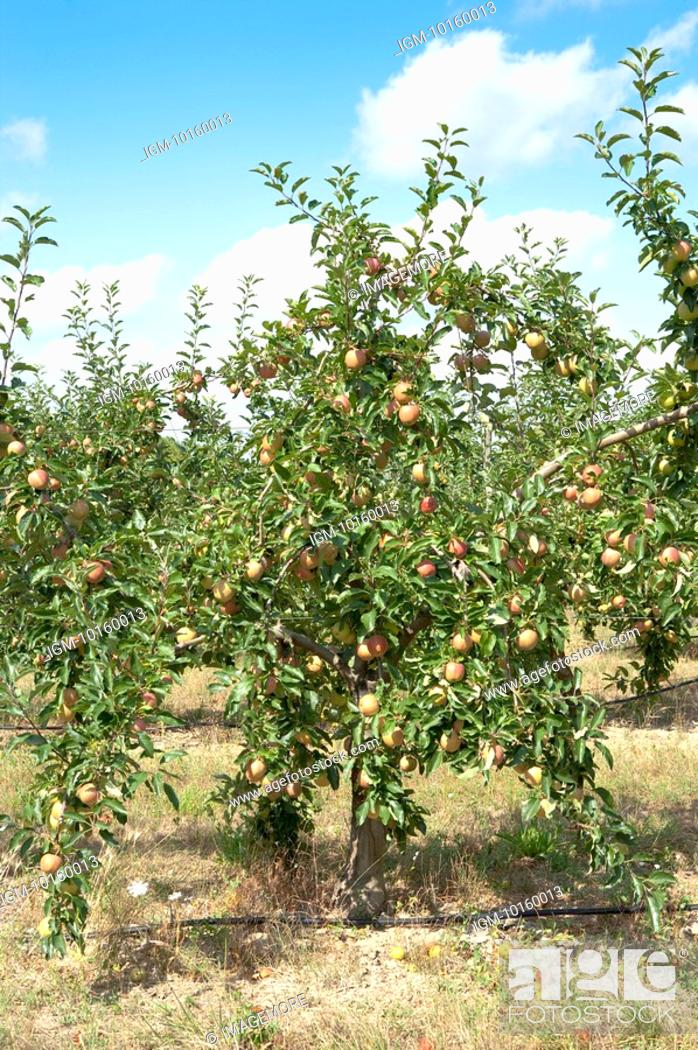 Stock Photo: Apple Tree in the Field, France.