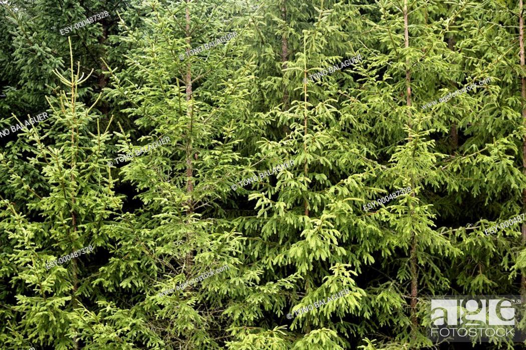 Photo de stock: Fir pine trees green mountain texture in Pyrenees Spain.