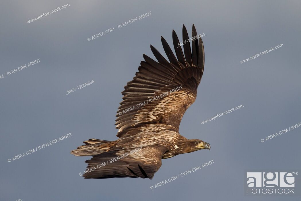 Stock Photo: White-Tailed Eagle - young eagle in flight - Sweden.