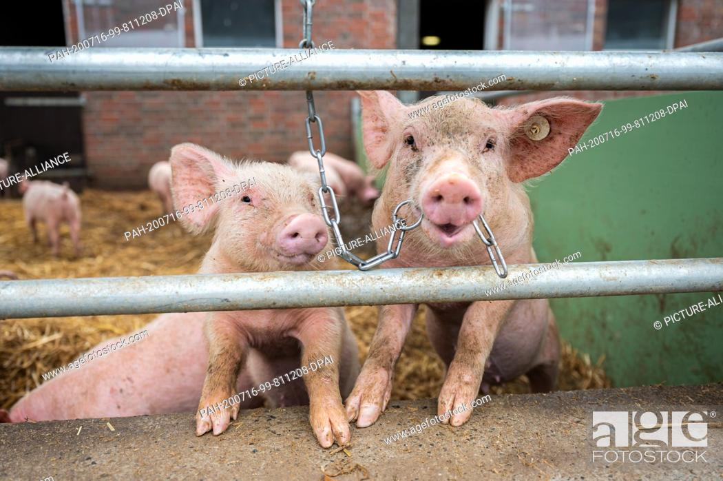 Stock Photo: 15 July 2020, Lower Saxony, Aurich: Pigs on an organic farm look out of their stalls while one of them has a chain in its mouth.