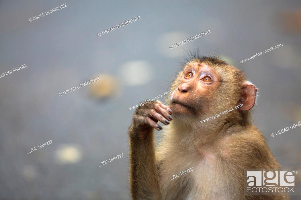 Imagen: Northern Pig-tailed Macaque Macaca leonina sitting on the road  Khao Yai National Park  Thailand.