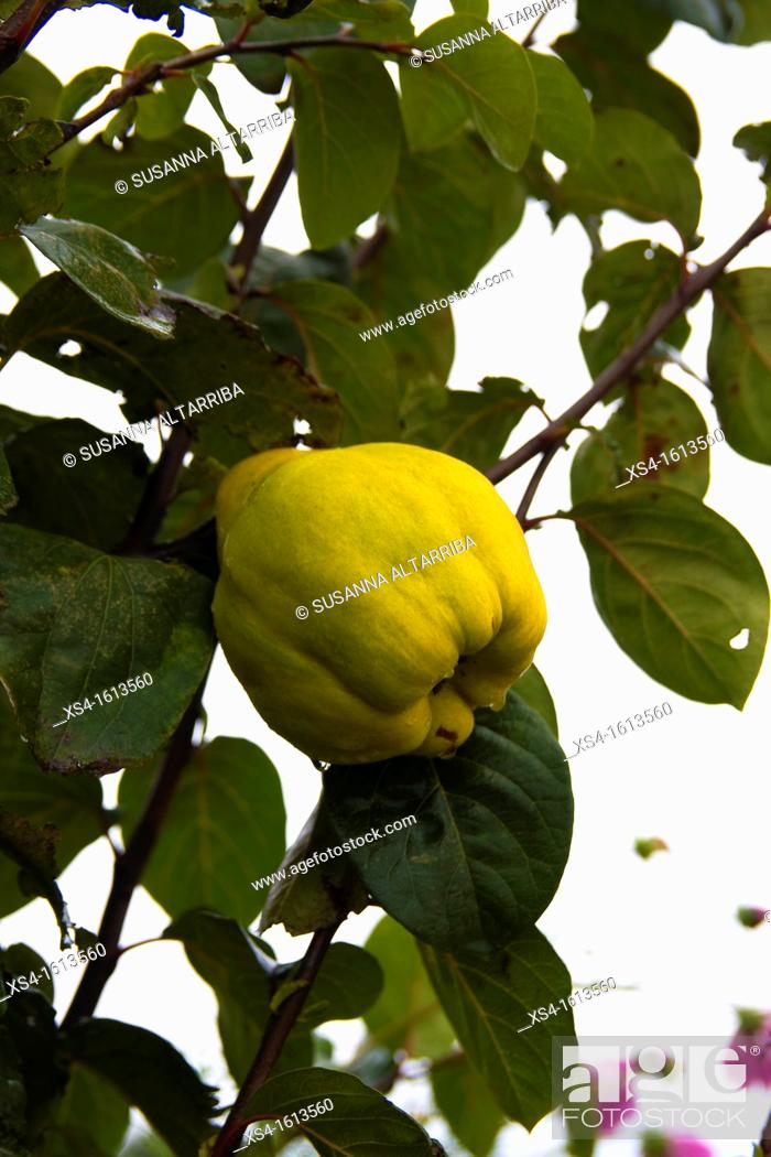 Stock Photo: Quince. Cydonia oblonga. Photo take in Pinos, Lleida, Catalonia, Spain, Europe.