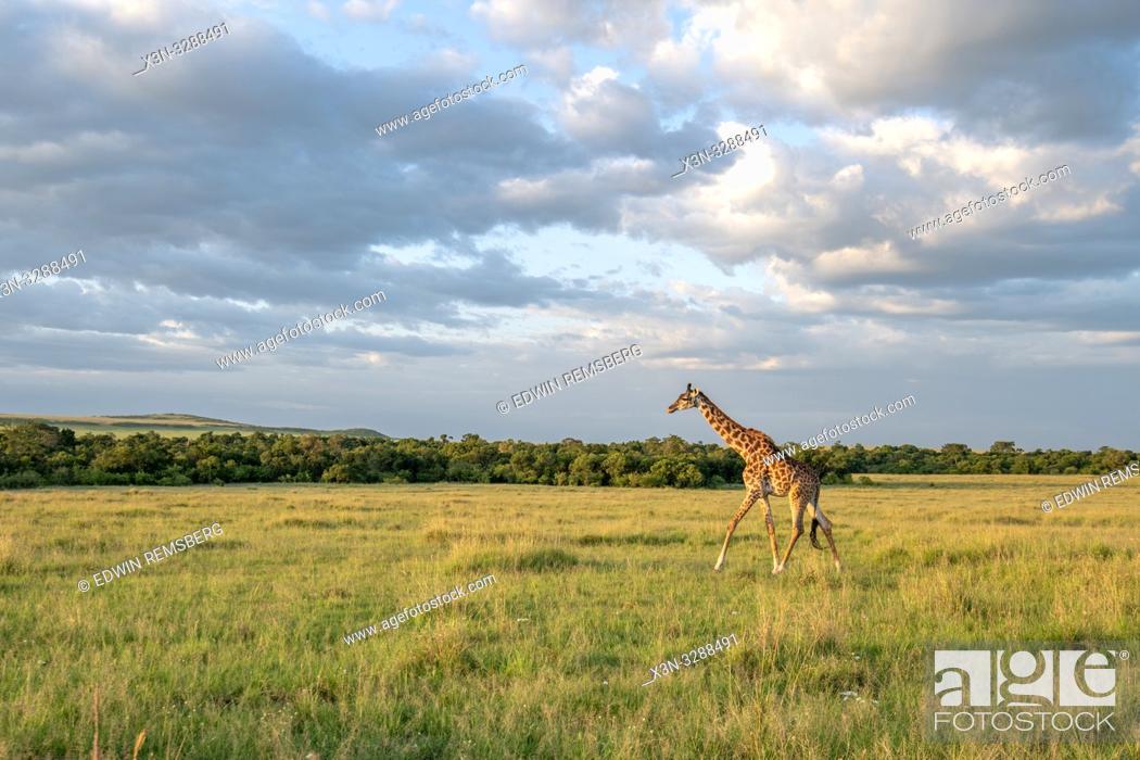 Stock Photo: Masai giraffe (Giraffa camelopardalis tippelskirchii) in a field in Maasai Mara National Reserve, Kenya.