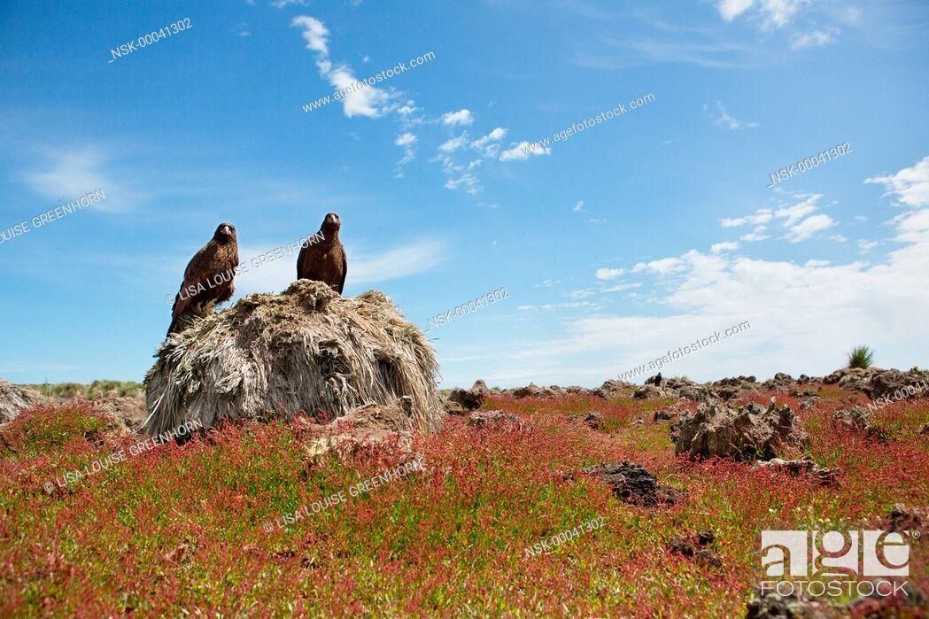 Imagen: Two Striated Caracaras (phalcoboenus australis) resting on Tussock Grass (Poa flabellata), Falkland islands, Steeple Jason Island.