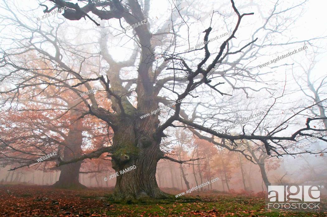Stock Photo: Chestnut trunks in Castañar del Tiemblo. Castilla-León. Spain.