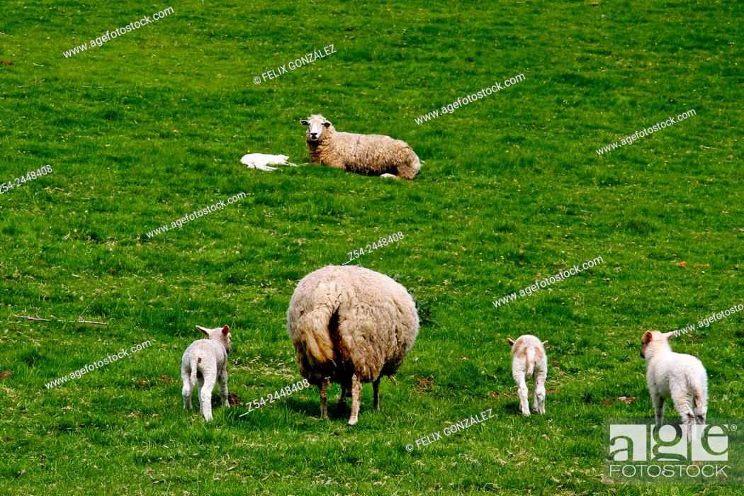 Imagen: Sheep in a meadow, Asturias, Spain.