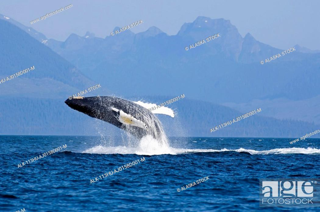 Stock Photo: Humpback whale in Inside Passage leaping out of the water Southeast Alaska Summer.