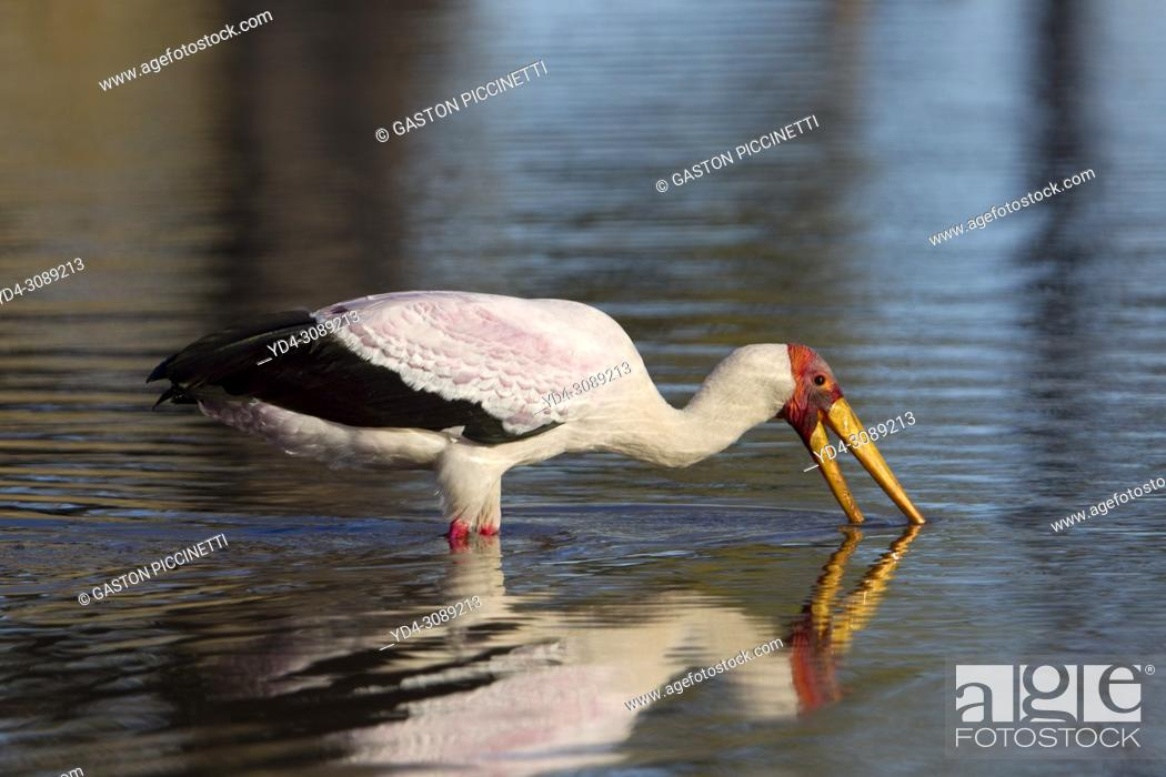 Stock Photo: Yellow-billed Stork (Mycteria ibis) - Hunting in a pool. Okavango Delta, Moremi Game Reserve, Botswana.