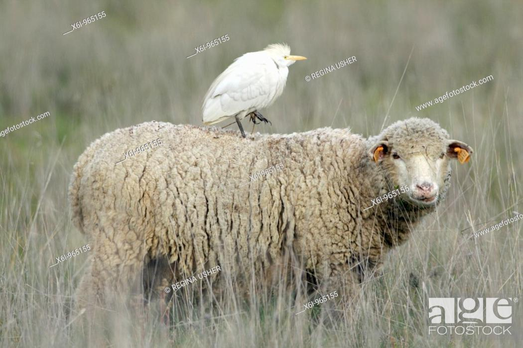 Stock Photo: Cattle Egret Bubulcus ibis, riding on merino sheep's back, Portugal.