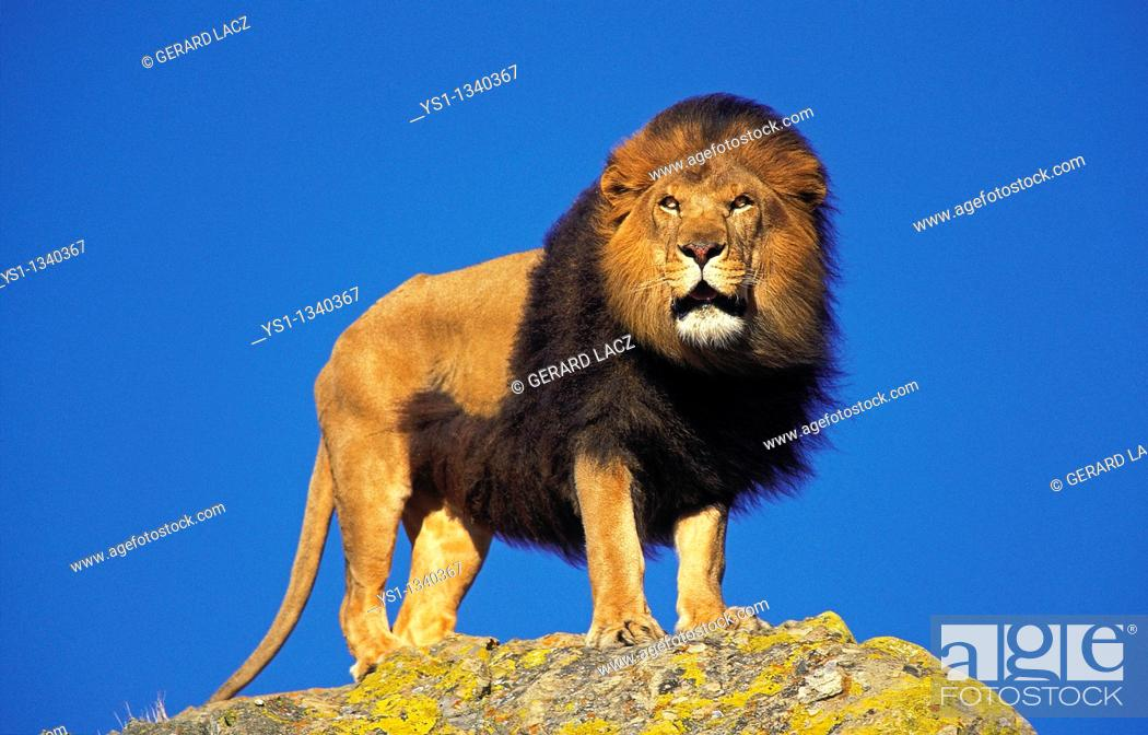 Stock Photo: AFRICAN LION panthera leo, MALE STANDING ON ROCK.