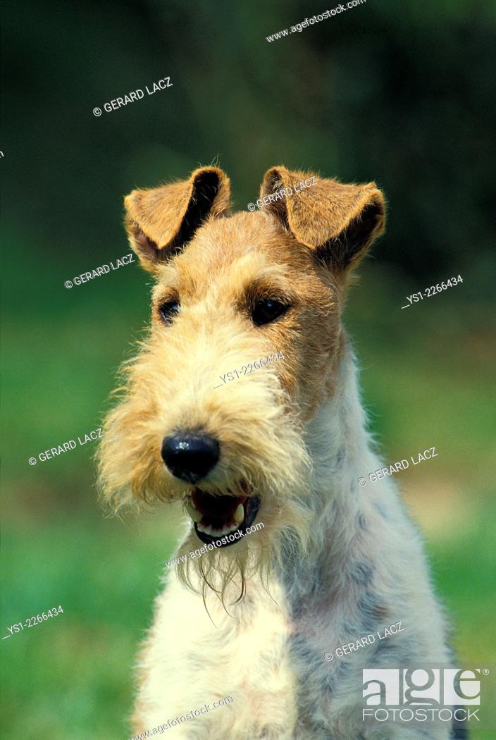 Stock Photo: Portrait of Wire-Haired Fox Terrier.