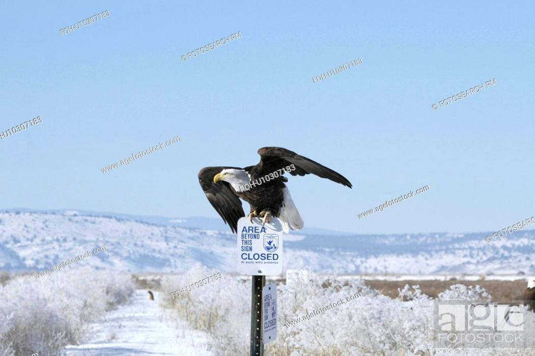 Stock Photo: background bald eagle ready take flight sign in.