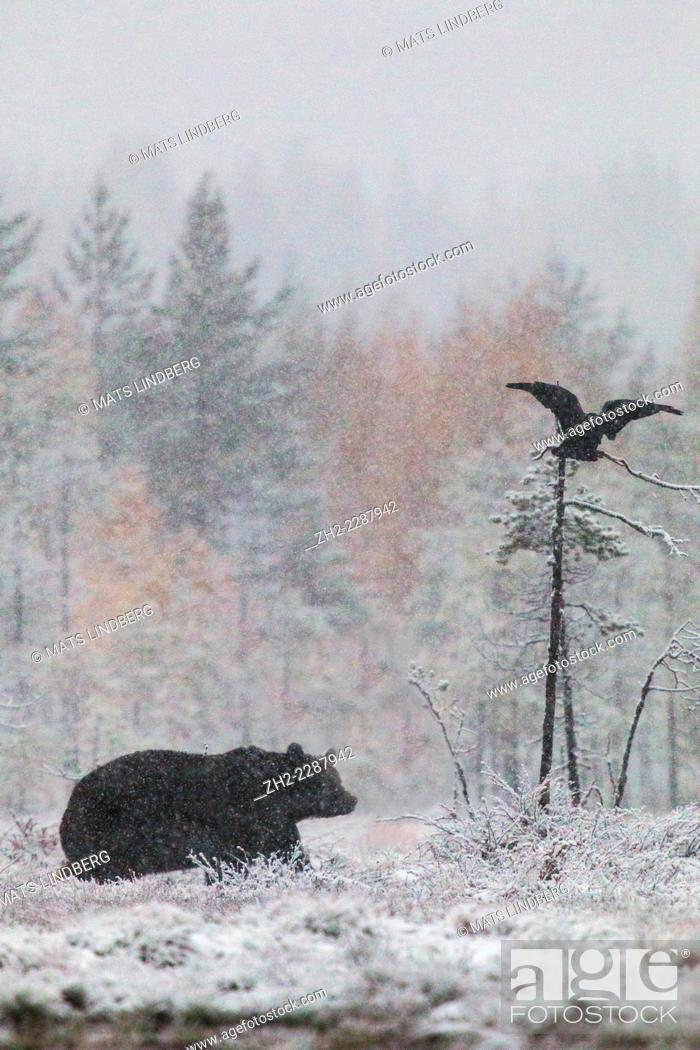 Stock Photo: Brown bear, Ursus arctos walking in forest in snow storm and a raven flying above with birches in yellow autumn colors, Kuhmo, Finland.