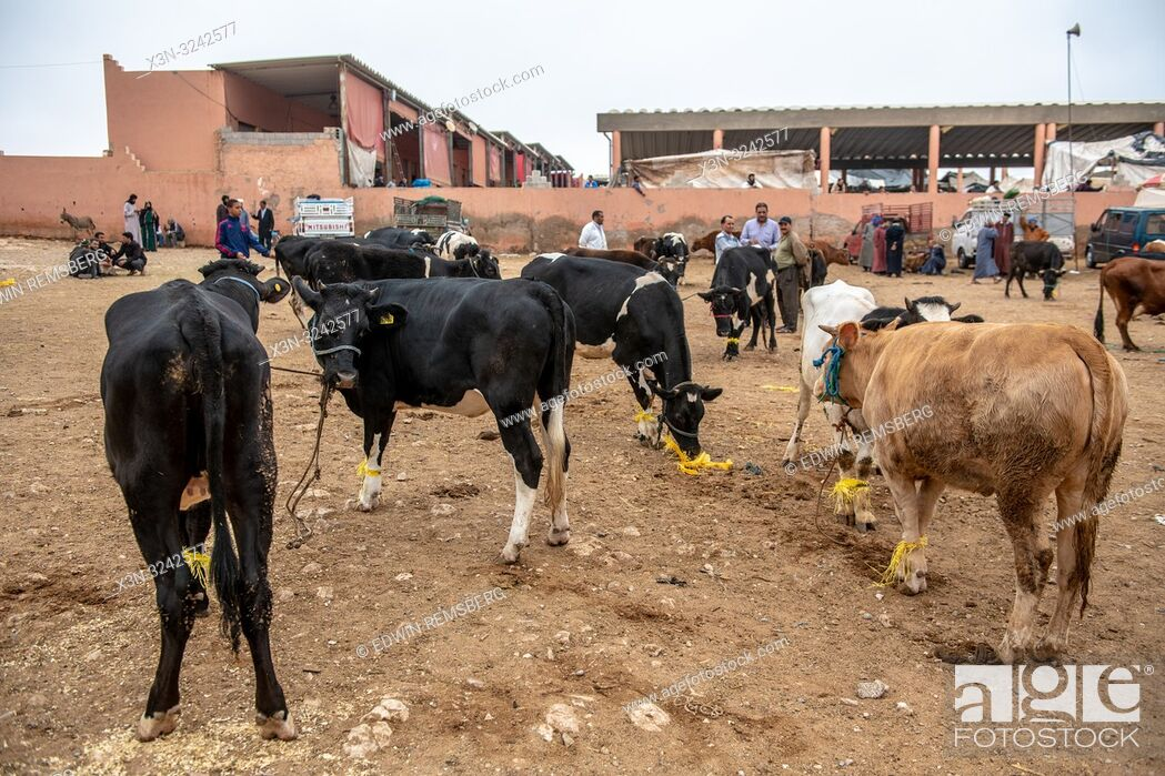 Stock Photo: A group of cattle gathered for sale in Guelmim, Guelmim province, Morocco.