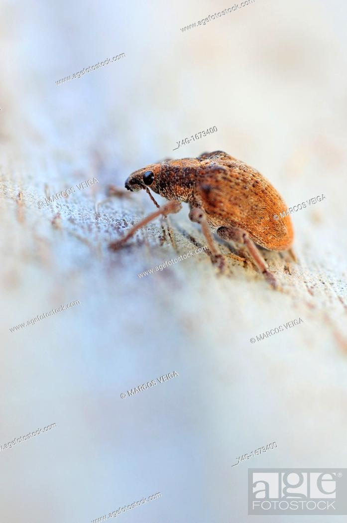 Stock Photo: Eucalyptus Snout Beetle Gonipterus scutellatus in a gum tree trunk.