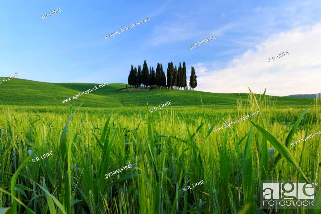 Stock Photo: Italian cypress (Cupressus sempervirens), grove in a wide field landscape, Italy, Tuscany, Val d' Orcia, San Quirico d' Orcia.