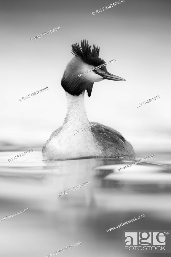 Stock Photo: Great Crested Grebe / Haubentaucher ( Podiceps cristatus ) swimming on calm water, looks around attentively, monochrome converted.
