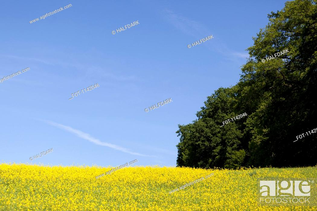 Stock Photo: A field of flowering rapeseed Brassica napus.