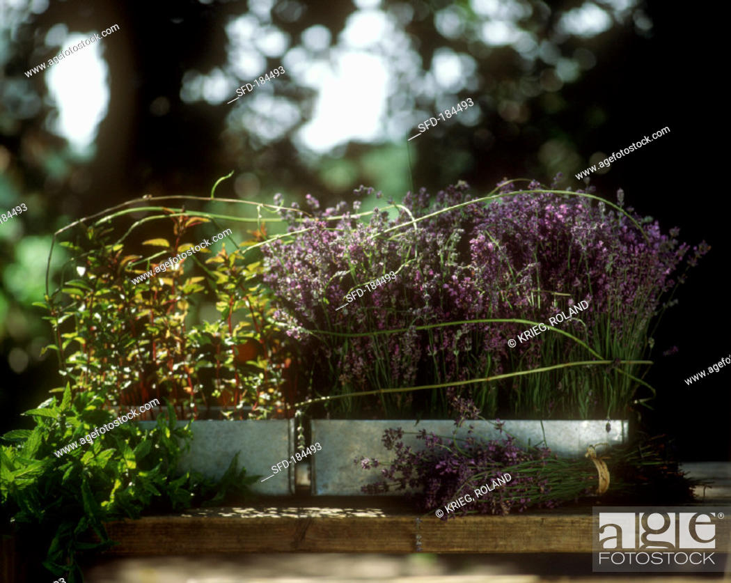 Stock Photo: Lavender and mint in window boxes.
