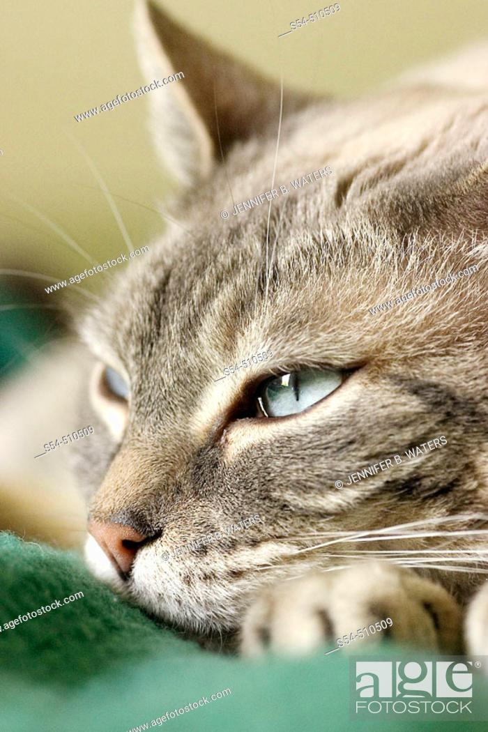 Stock Photo: A domestic cat resting.