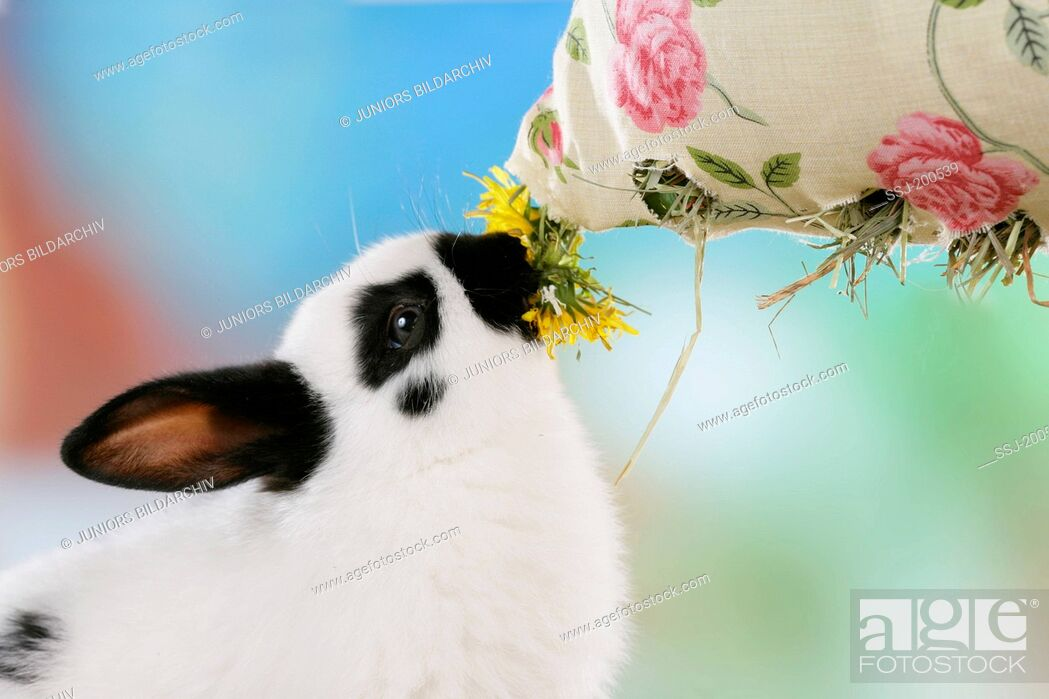 Imagen: Netherland Dwarf Rabbit eating Dandelion and hay from a cloth bag. Germany.