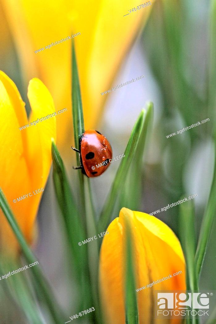 Stock Photo: Seven spot ladybird  climbs a leaf in midst of yellow crocus. Coccinella septempunctata The beetle has raindrops glistening on her back from an overnight.