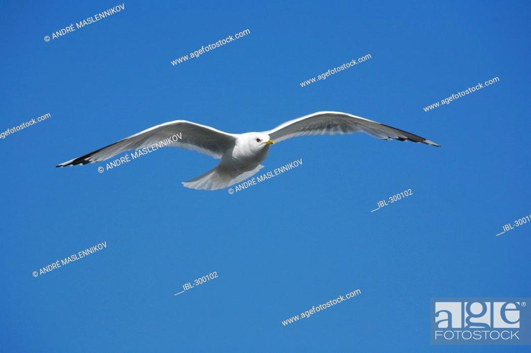 Stock Photo: Flying gull.