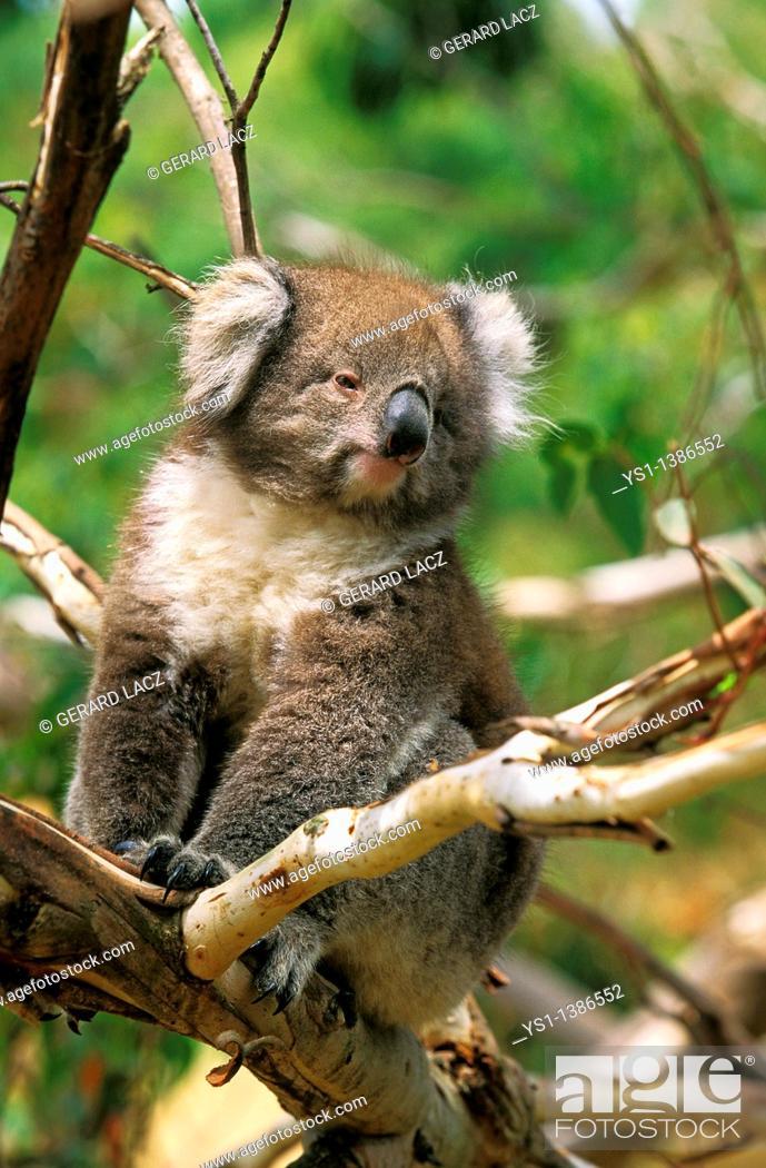 Stock Photo: Koala, phascolarctos cinereus, Adult Sitting on Branch, Australia.