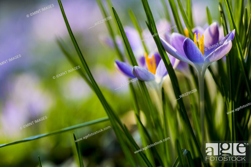Stock Photo: Close up of pale purple crocuses with bright yellow stamens and green grass-like leaves.