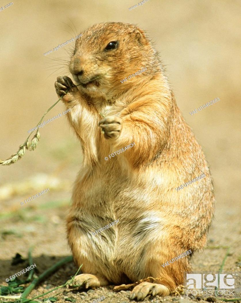 Stock Photo: Prairie dog.