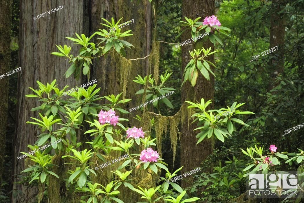Imagen: Rhododendron, moss, and and redwood trees; Howland Hill Road, Jedediah Smith Redwoods State Park, Calfornia.