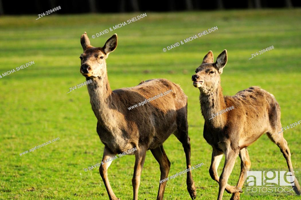 Stock Photo: Close-up of a red deer (Cervus elaphus) female runnig on a meadow.