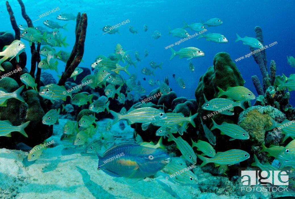 Stock Photo: Princess Parrotfish between Smallmouth Grunt, Scarus taeniopterus, Haemulon chrysargyreum, Caribbean Sea, Bonaire.