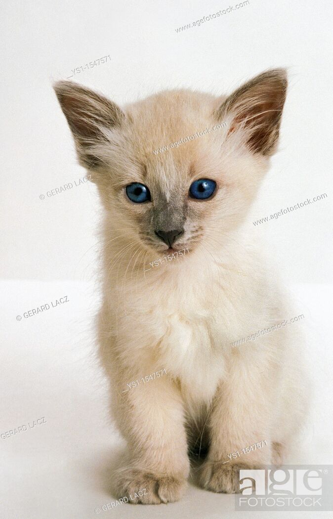 Stock Photo: Balinese Domestic Cat, Kitten against White Background.