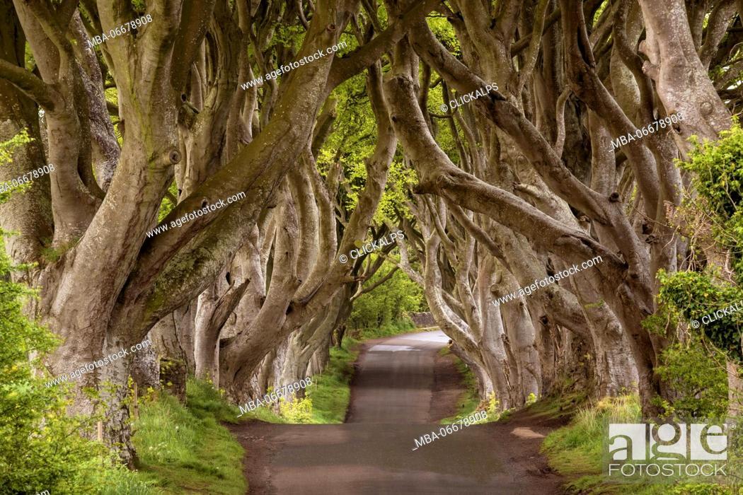 Stock Photo: The Dark Hedges, County Antrim, Ulster region, northern Ireland, United Kingdom. Iconic trees tunnel.