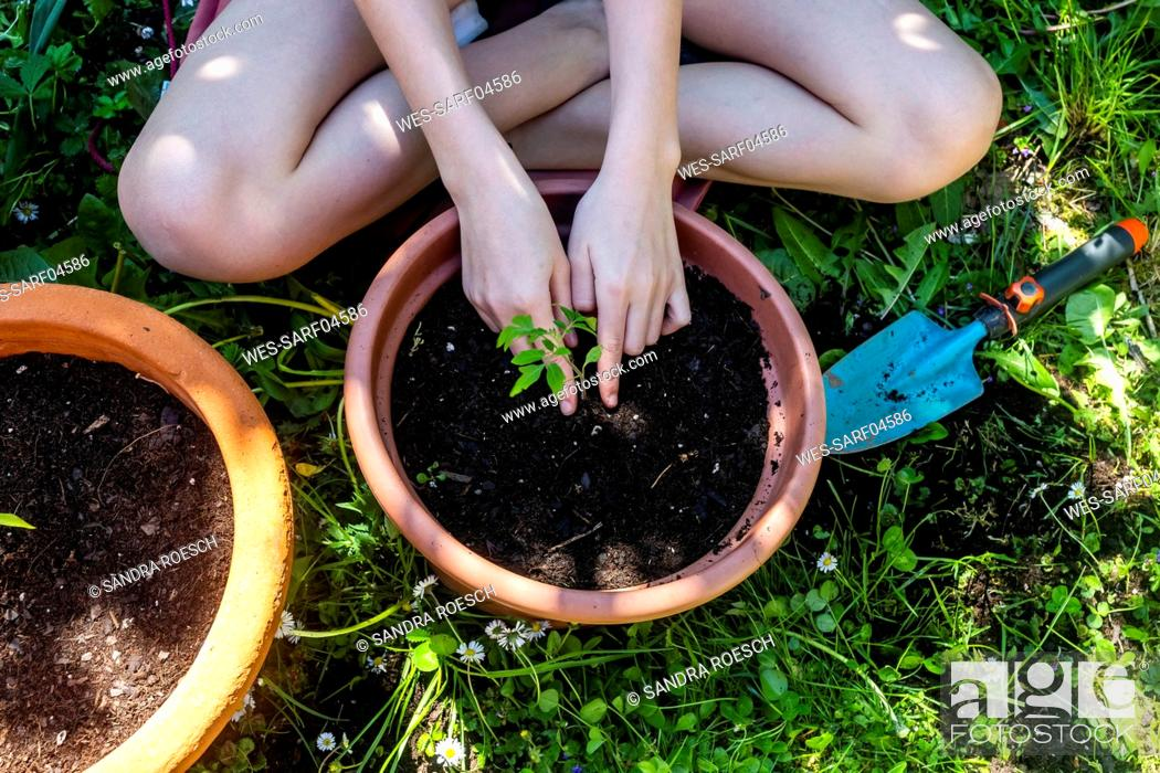 Stock Photo: Crop view of girl potting tomato plant in a garden.
