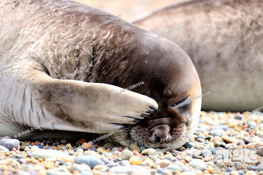 Imagen: Southern Elephant Seal - pup - (Mirounga leonina). Peninsula Valdes, Patagonia, Argentina, South America.