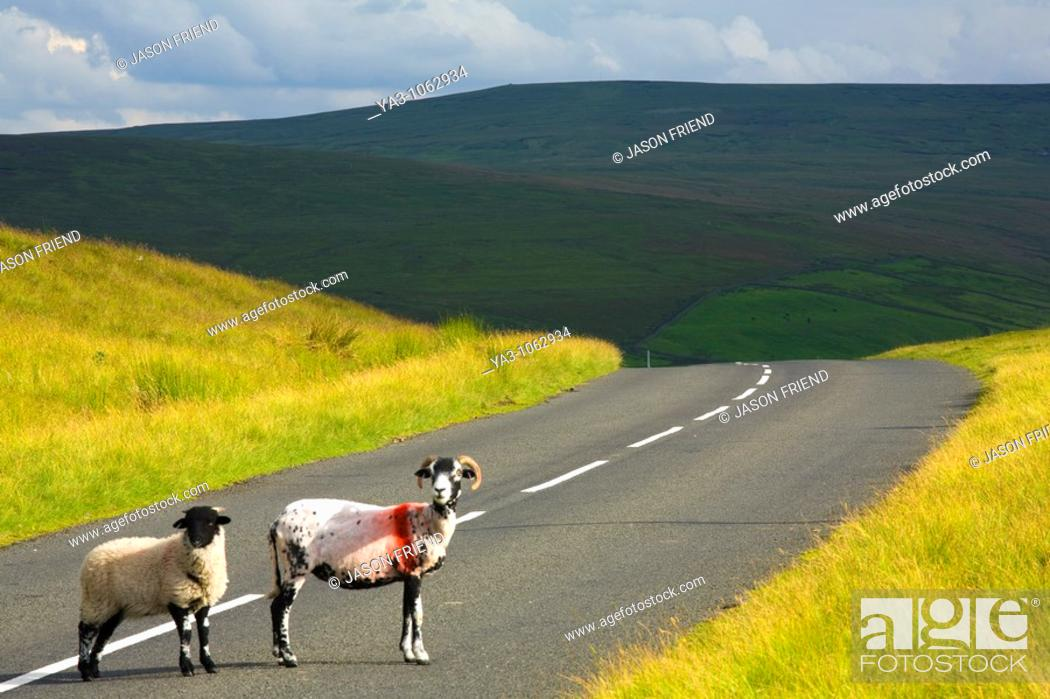 Stock Photo: England, Northumberland, North Pennines  Sheep crossing a country road running through dramatic Pennine scenery, in the North Pennines Area of Outstanding.