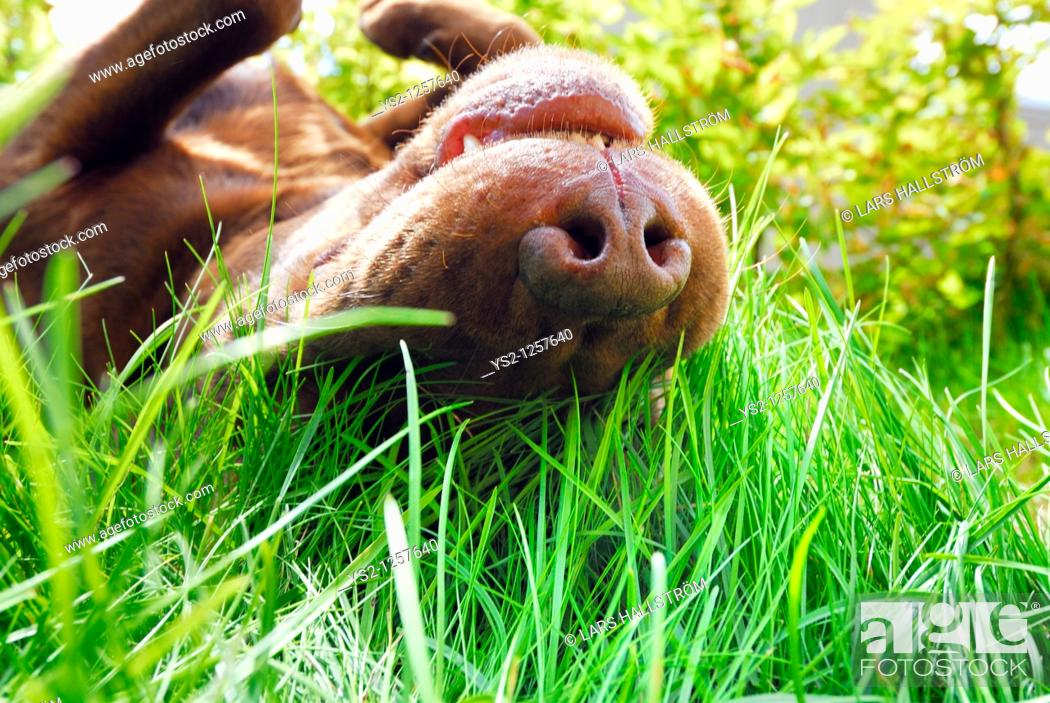 Stock Photo: Brown Labrador Retriever rolling in the grass, Sweden.
