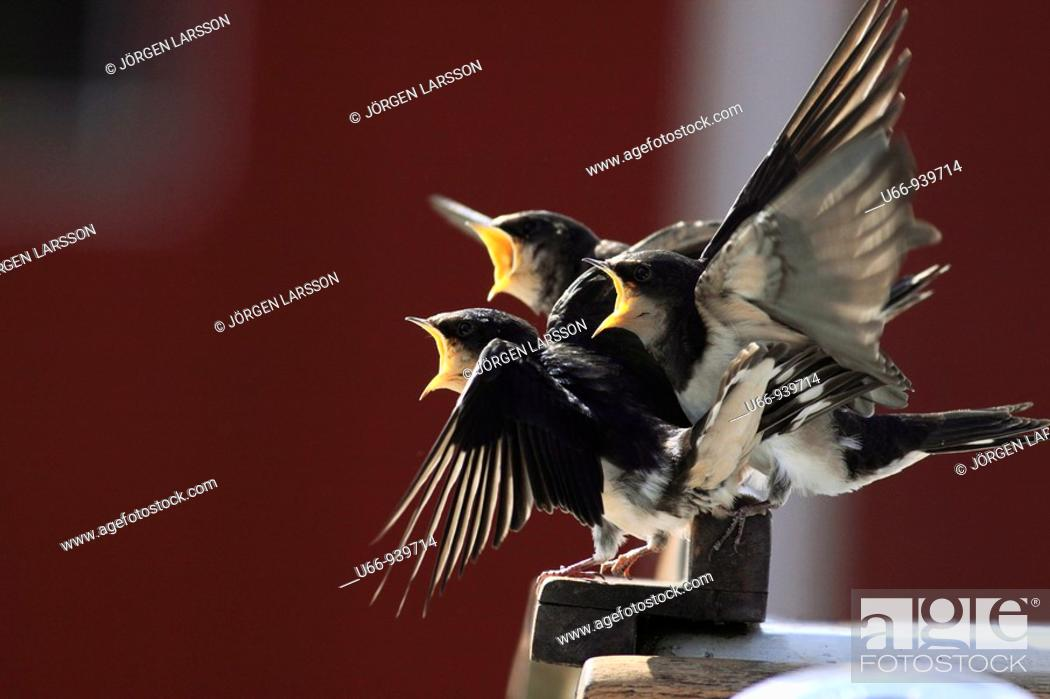 Stock Photo: Barn swallow, Småland, Sweden.