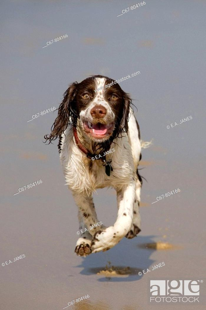 Stock Photo: English Springer Spaniel running on Beach.