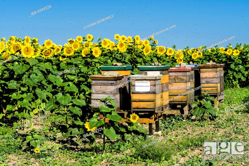 Stock Photo: Beehives are placed at a field of common sunflowers (Helianthus annuus), in the air flying bees, Saxony, Germany.